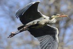 Flying Grey Heron Royalty Free Stock Photos
