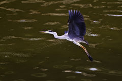 Flying Grey Heron. On the river Stock Photo