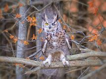Grey Horned Owl. A flying grey horned owl Stock Photo