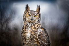 Grey Horned Owl. A flying grey horned owl Royalty Free Stock Image