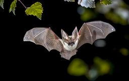 Free Flying Grey Long Eared Bat In Forest Stock Photos - 136523093