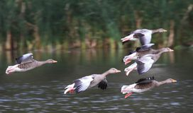 flying greylag geese Stock Image