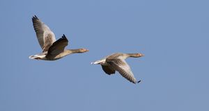 Flying Greylag Geese Stock Photos