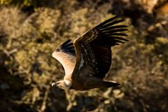 Griffon vulture Gyps fulvus in Extremadura, Spain Stock Photos