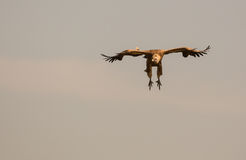 Flying Griffon vulture Stock Image