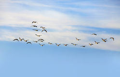 Flying Group Of Geese Stock Photo