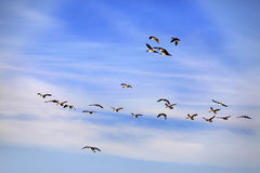 Flying Group Of Geese Stock Images