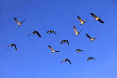 Flying Group Of Geese Royalty Free Stock Photo