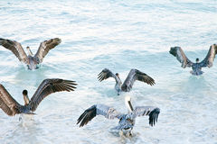 Flying group of pelicans Royalty Free Stock Images