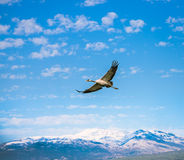 Flying Grus. Birds fly in the winter Stock Photo