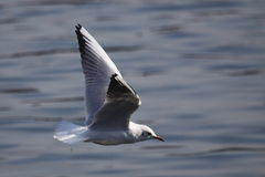 Flying gull Royalty Free Stock Photos