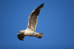Flying Gull. A Sea Gull pictured against a clear blue sky Stock Image