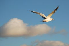 Flying gull. Against a light blue sky with gray-white clouds Stock Images