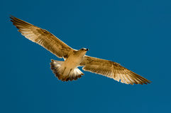 Flying Gull Stock Photos