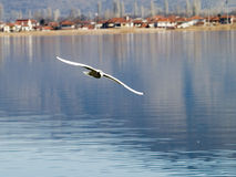 Flying gull. A gull flying above Kastoria's lake in Greece Stock Photo