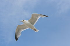 Flying gull. Close-up of a flying gull, with blue sky background royalty free stock photography