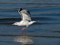 Flying Gull 2 Royalty Free Stock Photo