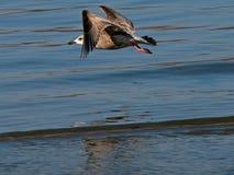 Flying Gull Royalty Free Stock Image