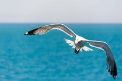 Flying gull Royalty Free Stock Photos
