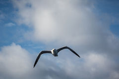 Flying Gull Stock Image