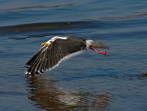 Flying Gull Stock Images