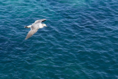 Free Flying Gull Royalty Free Stock Images - 61220069