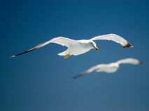 Flying gull Stock Photo