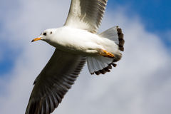 Flying gull. In the sky blue freedom royalty free stock images