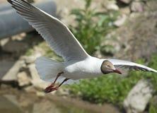 Flying Gull Stock Image