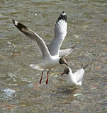 Flying Gull Stock Photo
