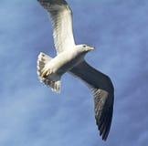 Flying Gull Stock Images