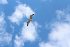 Flying gull and cloudy skies Royalty Free Stock Photo