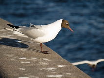 Before flying. The gull is getting ready for the fly Royalty Free Stock Photo