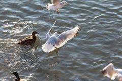 Flying seagulls in sunlight. Flying gull Larus argentatus, flaying Larinae Royalty Free Stock Image