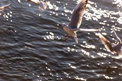 Flying seagulls in sunlight. Flying gull Larus argentatus, flaying Larinae Stock Images