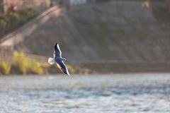 Flying seagulls in sunlight. Flying gull Larus argentatus, flaying Larinae Stock Photography