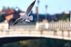 Flying seagulls in sunlight. Flying gull Larus argentatus, flaying Larinae Royalty Free Stock Images