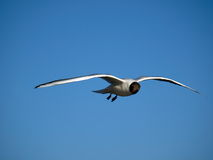 Flying gull. The lonely gull in the sky Stock Images