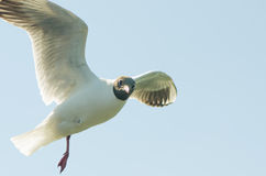 Flying gull (mew, seagull) Royalty Free Stock Photos