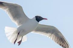 Flying gull (mew, seagull) Stock Image