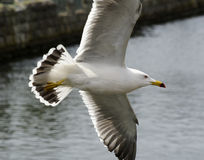 Flying Gull royalty free stock photo