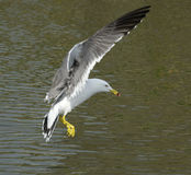 Flying Gull Royalty Free Stock Images