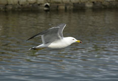 Flying Gull Stock Photography
