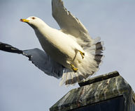 Flying Gull Royalty Free Stock Photography