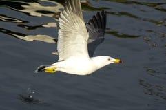 Flying Gull Royalty Free Stock Photo
