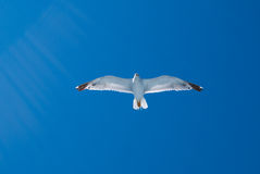 Flying gull and sun rays Royalty Free Stock Image