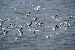 Flying gulls Royalty Free Stock Image