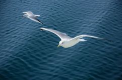 Flying gulls Royalty Free Stock Photography