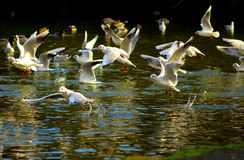 Flying gulls above the water Royalty Free Stock Image