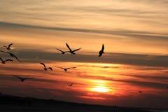 Flying gulls against darking sky, Ameland, Holland Royalty Free Stock Photography